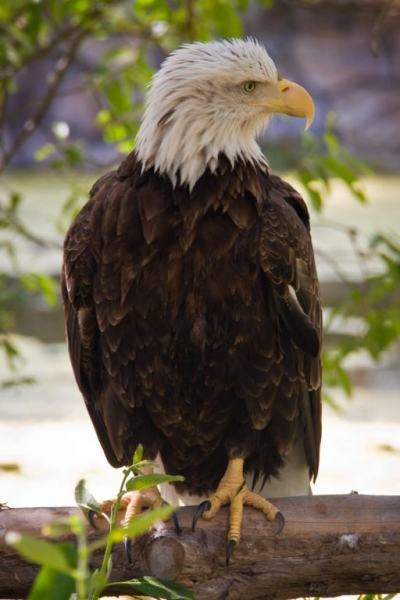 PERC Photography School Bald Eagle - Wet